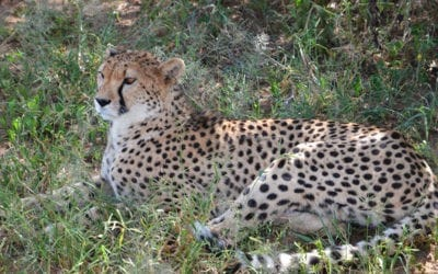 Cheetah Conservation Funds