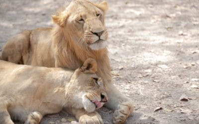 Marcher avec les lions à Fathala
