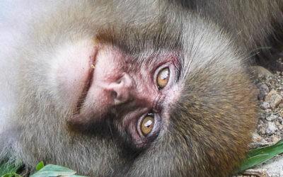 Les singes de Jigokudani